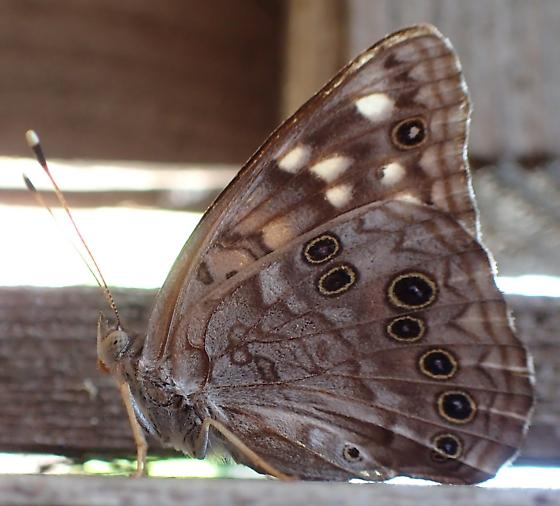 Tan Butterfly With Yellow Circles? - Asterocampa celtis