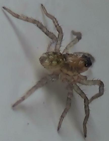 Baby Wolf Spider - Long & Thin - Arctosa littoralis