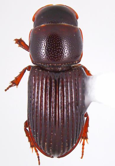 Hornietus ventralis (Horn) - Hornietus ventralis