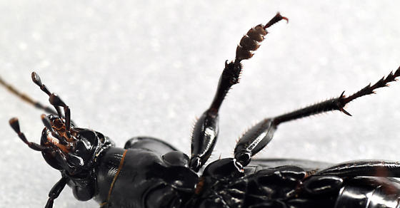 European ground beetle - Carabus nemoralis - male