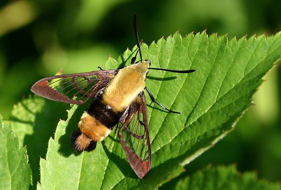 Hummingbird or Snowberry Clearwing? - Hemaris diffinis