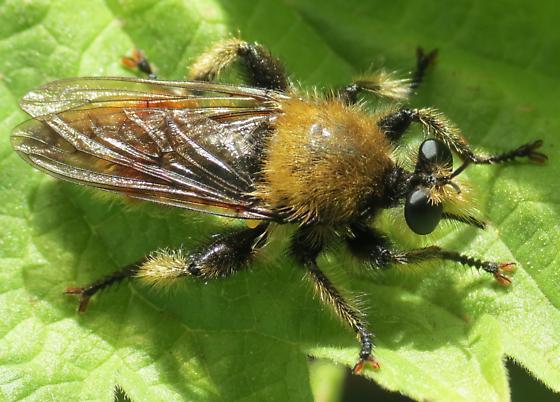 Deschutes Fly 3 - Laphria fernaldi