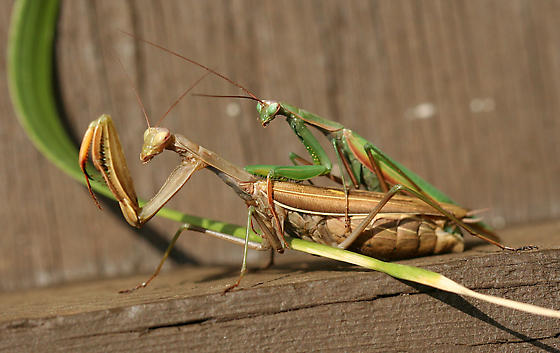 European Mantids Mating - Mantis religiosa - male - female