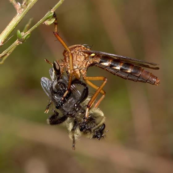 Robber Fly, with prey - Diogmites discolor