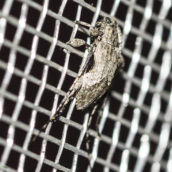 A wee longhorn beetle. ID, please - Styloleptus biustus