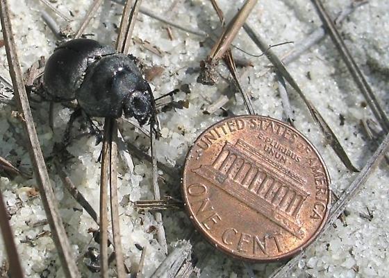 Mycotrupes retusus - male