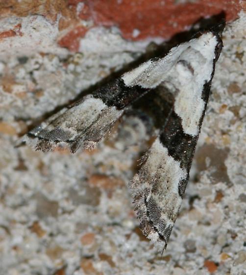 Nigetia formosalis