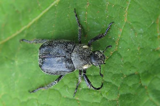 Scarab beetle - Hoplia trifasciata
