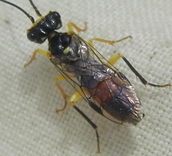beauty/wasp - Onycholyda rufofasciata