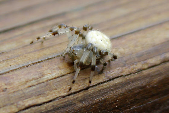 Orb-weaver Spider of some type - Araneus trifolium