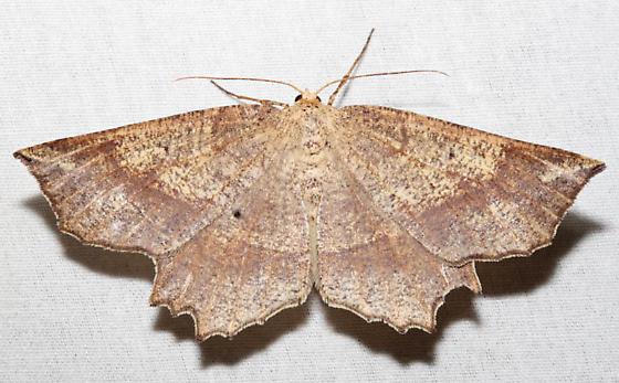 Euchlaena pectinaria - female