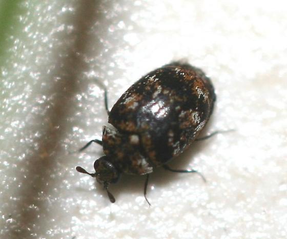 Small beetle - Anthrenus verbasci