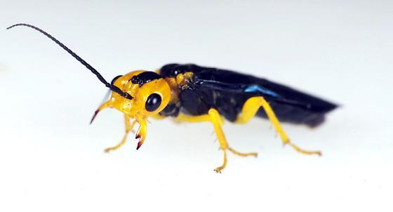 Sawfly - Onycholyda amplecta
