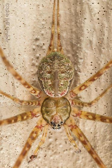 Spider - Neotama mexicana