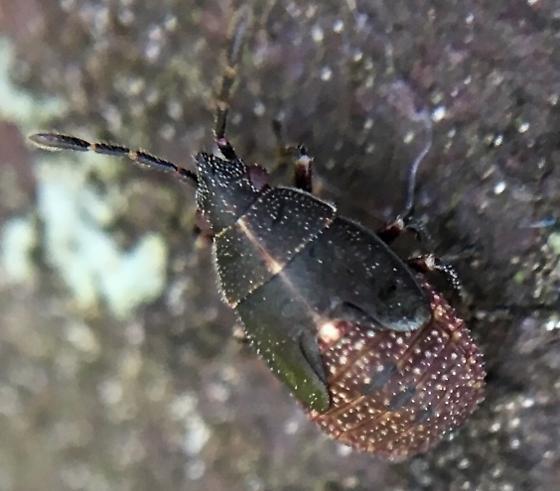 Bug nymph - Kleidocerys