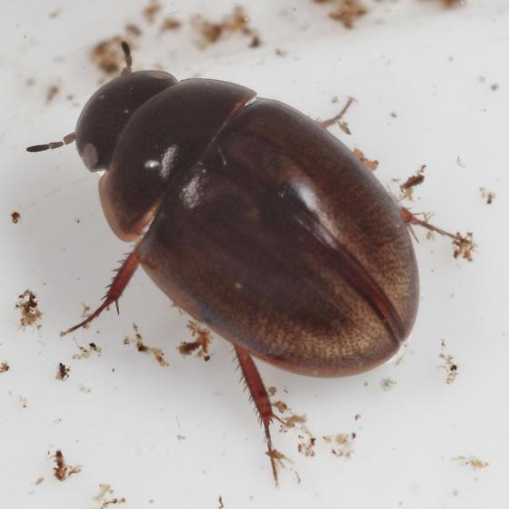 Predaceous Diving Beetle - Anacaena limbata