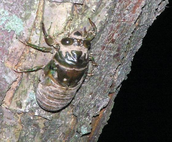 Swamp Cicada Nymph - Neotibicen tibicen