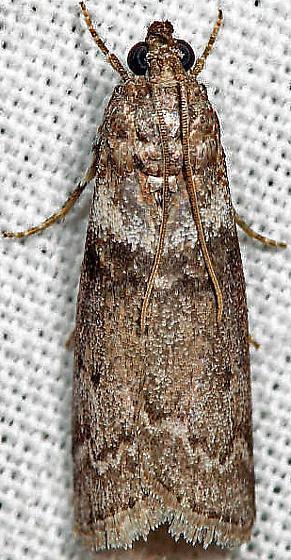 moth - Sciota subfuscella - female