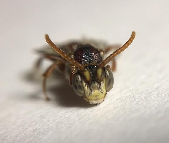 Hymenoptera - Nomada - male