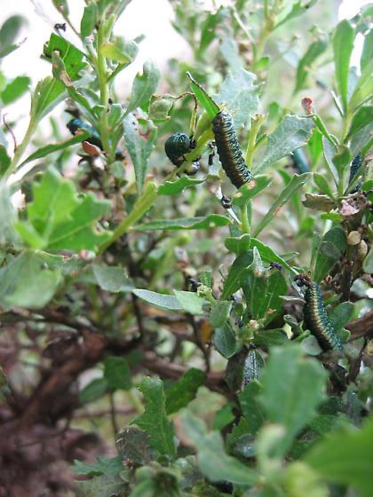Green leaf beetle (Trirhabda flavolimbata) (?) in coyote brush (Baccharis pilularis) - Trirhabda flavolimbata