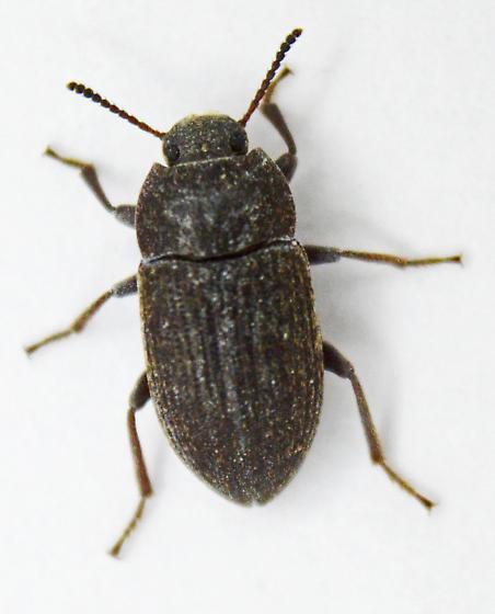 Darkling Beetle - Blapstinus fortis