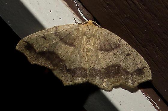 Unidentified Moth - Lambdina fiscellaria