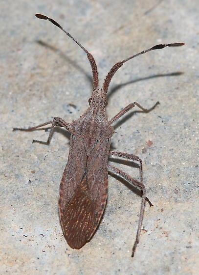 Assassin Bug - Chariesterus antennator