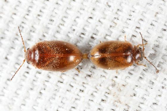 variabilis complex? - Contacyphon - male - female