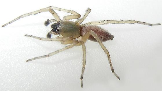 Sac Spider - Clubiona pallidula - male