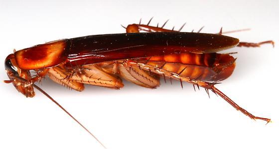 American Cockroach? - Periplaneta americana - female