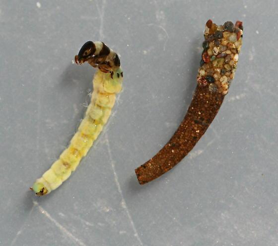 Marilia flexuosa - voucher specimen, in alcohol - Marilia flexuosa