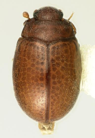 Murmidius ovalis (Beck) - Murmidius ovalis