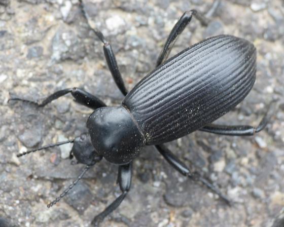 Deschutes Beetle 1 - Eleodes obscura