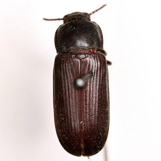 Tenebrio molitor Linnaeus - Tenebrio molitor