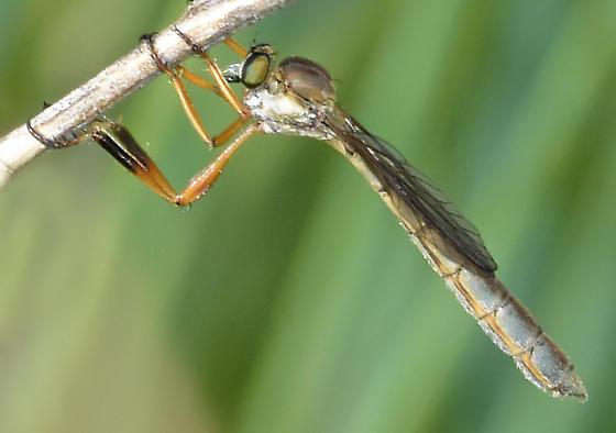 robber fly - Leptogaster