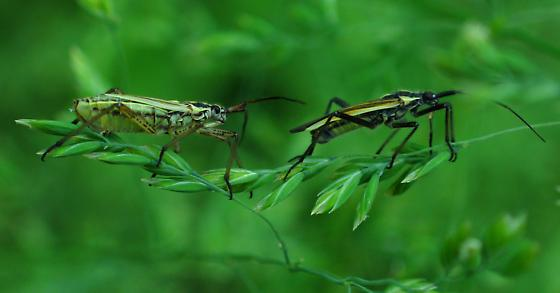 Damsel bugs? - Leptopterna