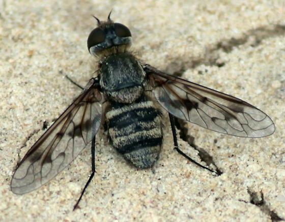Black-banded Bee Fly - Exoprosopa butleri