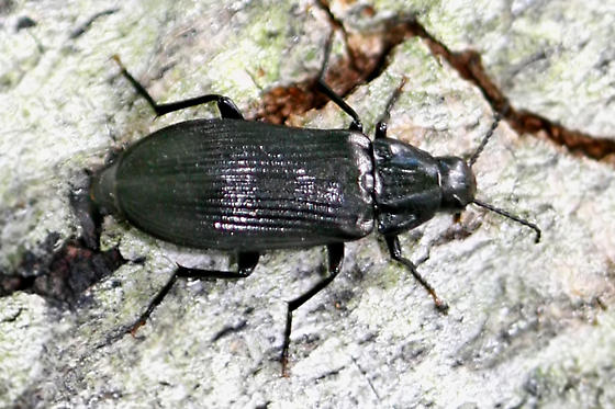 False Darkling Beetles - Melandrya striata