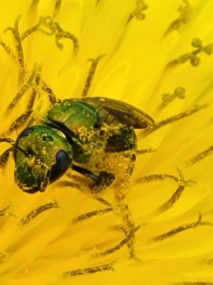 Green Metallic Sweat Bee - Augochlora pura