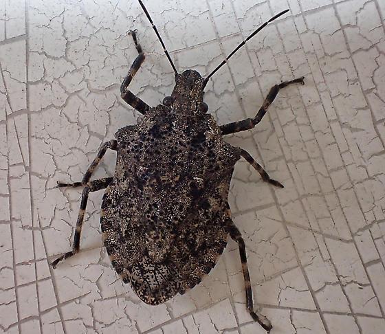 very large Pentatomidae sp - Brochymena chelonoides