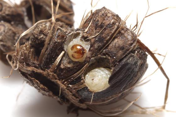 Gelechiidae, Burdock Seedhead Moth, larva - Metzneria lappella