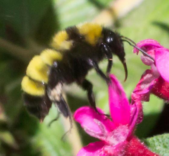 Vivid yellow bumble bee - Bombus sonorus