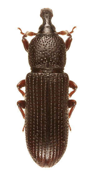 Unknown weevil - Cossonus impressifrons