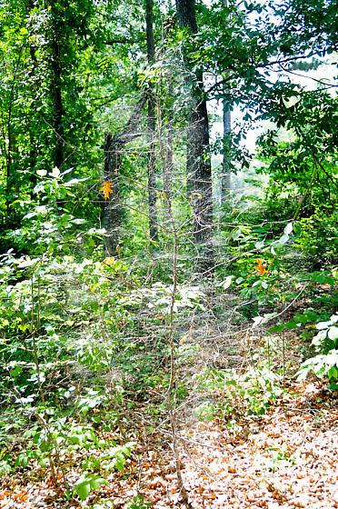 Basilica Orb Weaver - Clustering Behavior - Mecynogea lemniscata