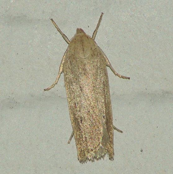 1132.97  Elachista spp - Gonioterma mistrella