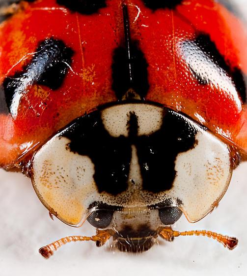 Ladybug or something else? - Harmonia axyridis