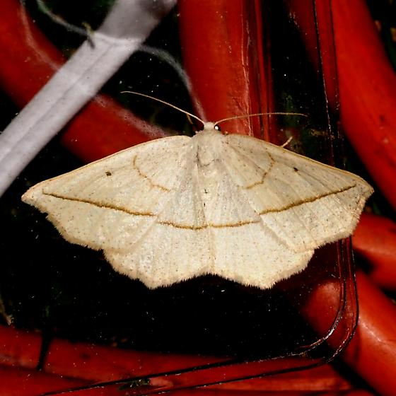 Species ID Request - Eusarca confusaria - female