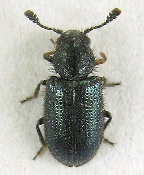 Cosmopolitan Blue Bone Beetle? - Necrobia violacea