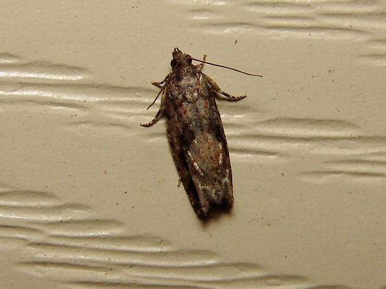 Gray tort moth - Gretchena concitatricana