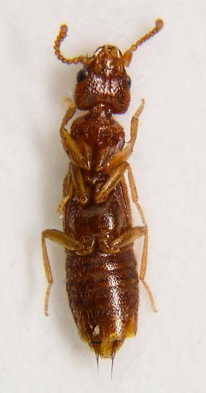 Small Staphylinid... - Sunius debilicornis